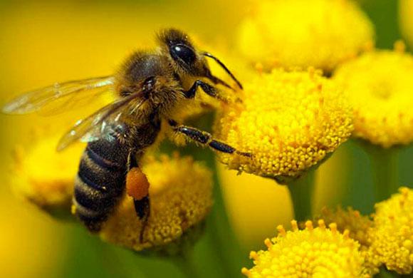 Protection des abeilles : la Commission européenne doit revoir sa copie !